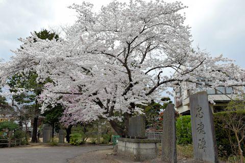 2017.4.16桜1.jpg