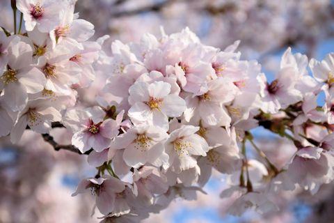 2017.4.16桜10.jpg
