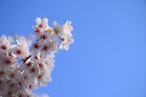 2017.4.16桜11.jpg
