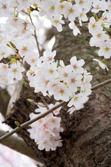 2017.4.16桜2.jpg