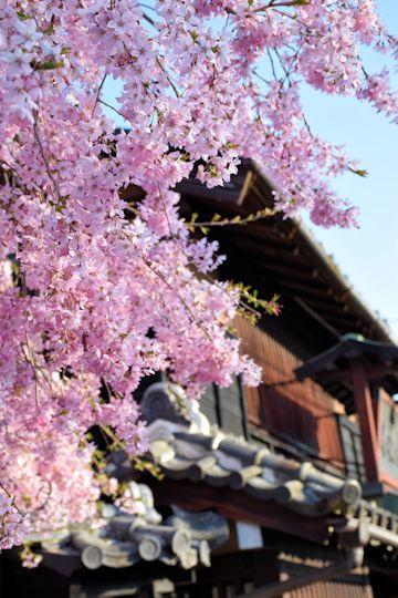 2017.4.16桜4.jpg