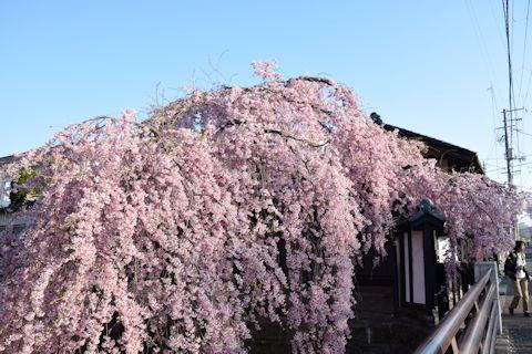 2017.4.16桜4あ.jpg