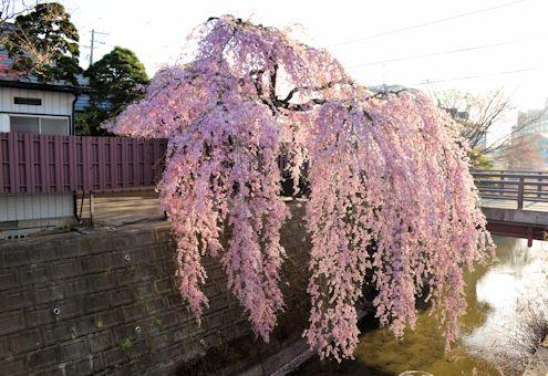 2017.4.16桜5.jpg