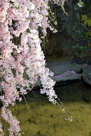2017.4.16桜6.jpg