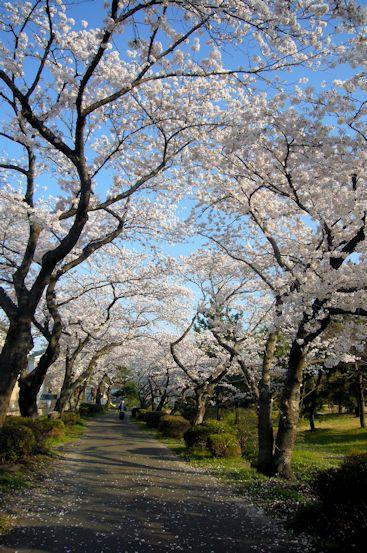 2017.4.16桜7.jpg