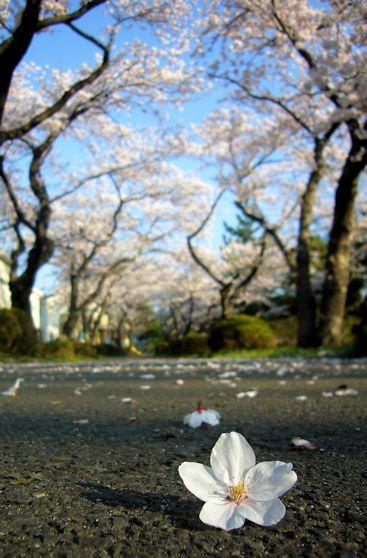 2017.4.16桜8.jpg