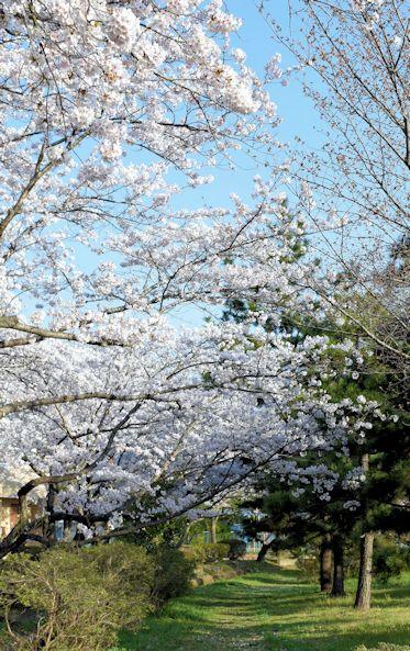 2017.4.16桜9.jpg