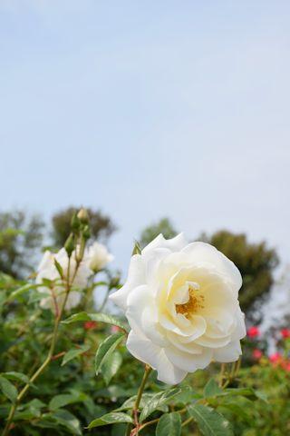 2017春のバラ11.jpg