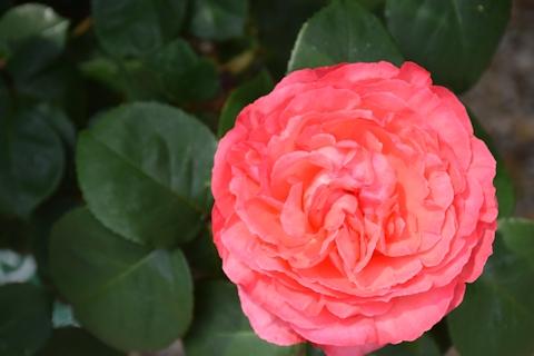 2017春のバラ15a.jpg