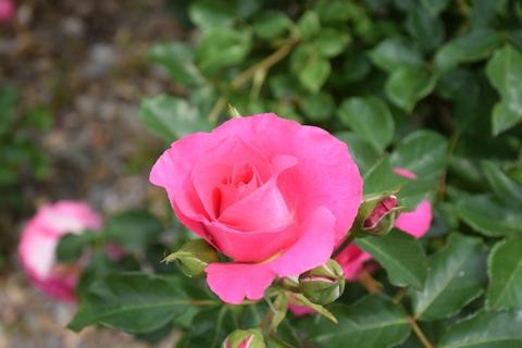 2017春のバラ17.jpg