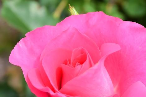 2017春のバラ19.jpg