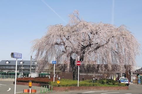 愛子駅の桜1.jpg