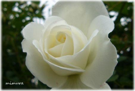 白薔薇.jpg